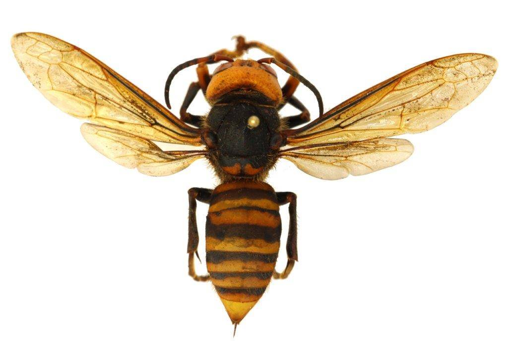 Asian giant hornet (Vespa mandarinia) is the world's largest species of hornet.                                  Courtesy of WSDA
